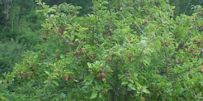 Manzano de sidra